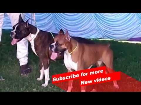 Wow ! Most Amazing dog breeds worldwide | Boxer |