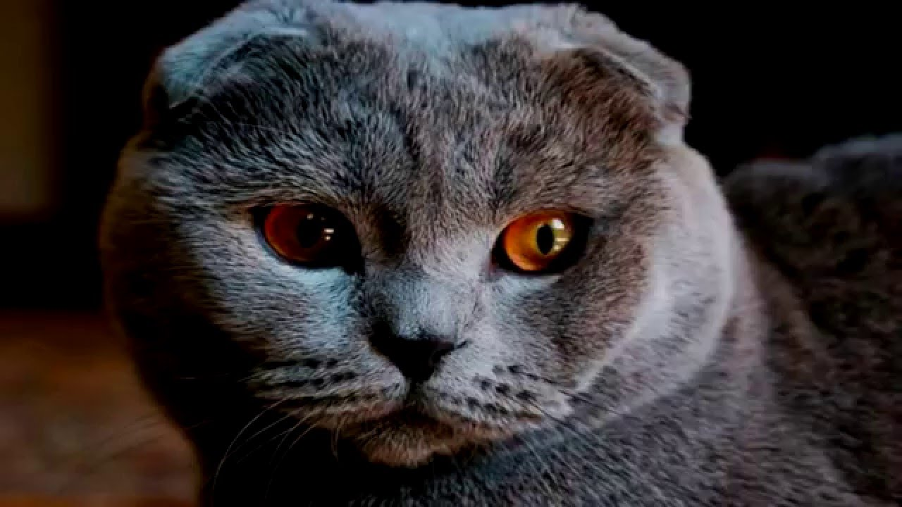 Шотландская вислоухая кошка страйт