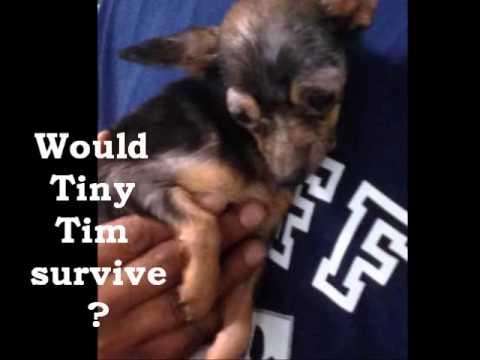 Tiny Tim Abandoned & Saved