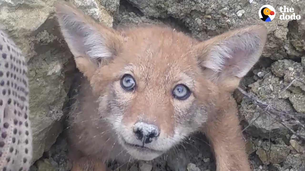 Guys Rush To Free Baby Coyote From Collapsed Den UPDATE | The Dodo