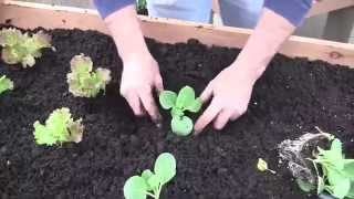 Planting Vegetables In A Raised Garden Cedar Container