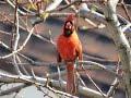 Cardinal Singing mp3