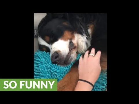 Needy dog gets frustrated when owner stops scratches