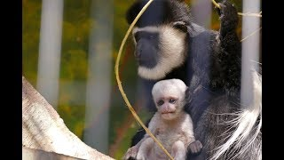 2018.12.8 Abyssinian Colobus アビシニアコロブス 成長記録No.3 (日本平動物園)