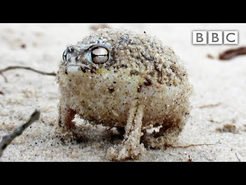 a-tiny-angry-squeaking-frog-🐸-|-super-cute-animals---bbc