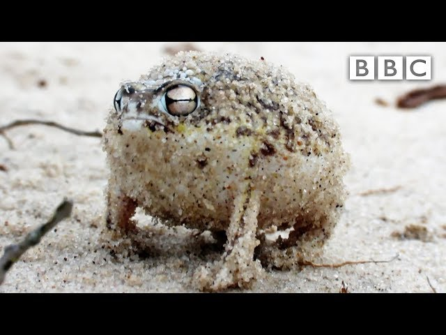 Angry Squeaking Frog – Super Cute Animals: Preview – BBC One