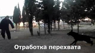 Восточно-европейская овчарка Black Dragon Fire (возраст 13 мес.)