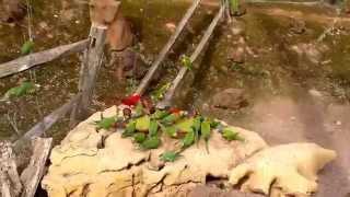 Parc pairi daiza(Belgique) zoo Dans une immense volière nourrissage de petite et grande perruche. thumbnail
