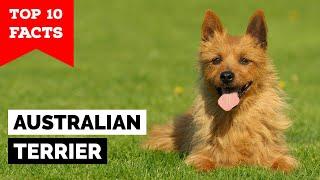 Australian Terrier  Top 10 Facts
