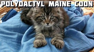 Maine Coon Cat Video - Maine Coon Curiosities - Polydactyl Maine Coons