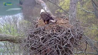 3/30/17.. Dale Hollow Eagle Cam ~ Ha Ha,You Can't Get Me ~ Mom Brings A Fresh Fish thumbnail
