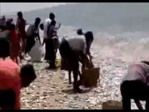 Thousands of Fish Seen Jumping out of Ocean onto Beach India