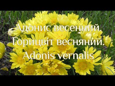 Адонис весенний — Википедия