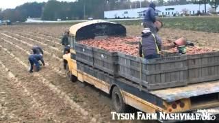Pisca De Camote En Norte Carolina thumbnail