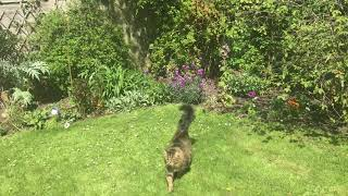 Marley the Maine Coon in the garden