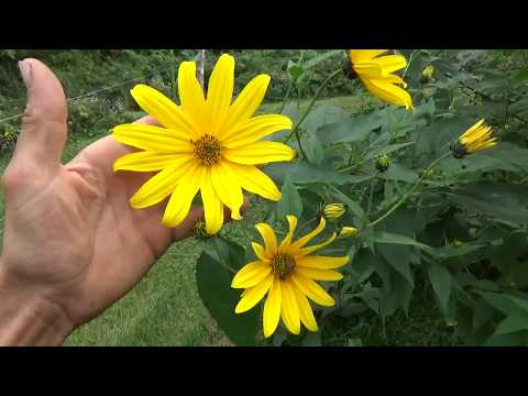 09 20 2017 Jerusalem Artichokes - Soil Builder, Pollinator Attractant, Food Source, Fiber Source