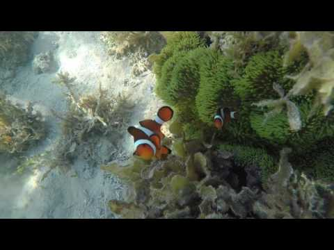 Bohol 2017 05-03@0728 Loon basdacu Deep Sea Clown Fish