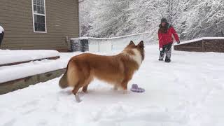 Rough Collie getting the running fits in the snow - 1 year old.