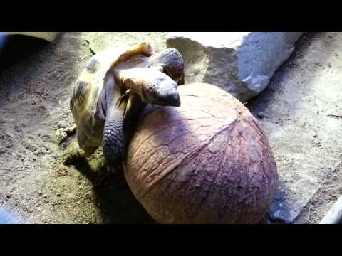 Russian Tortoise humping coconut