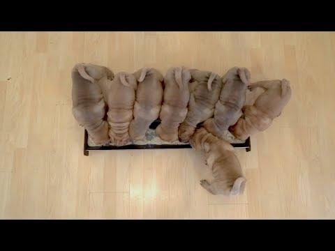 Shar Pei Puppies Feeding