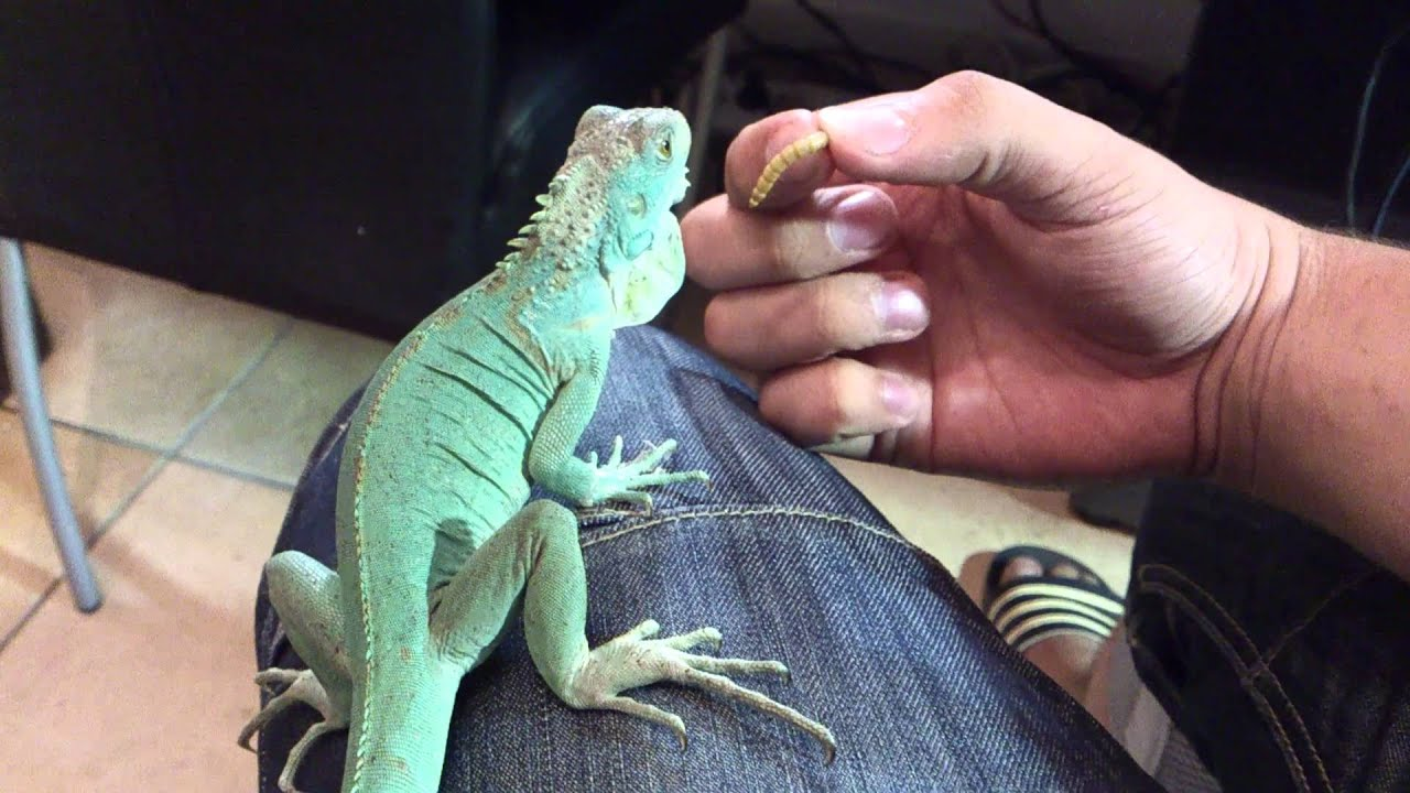 BLUE IGUANA Axanthic Close Up How You Tame An Iguana