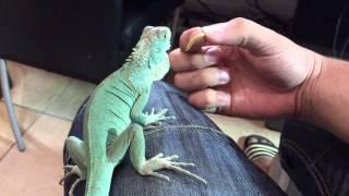 Video BLUE IGUANA! (Axanthic) (Close up). How you tame an iguana! HD download MP3, 3GP, MP4, WEBM, AVI, FLV Januari 2018
