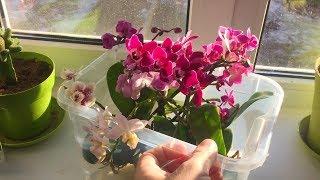 орхидеи в шубу укутываю / чтобы не гнили корни орхидей