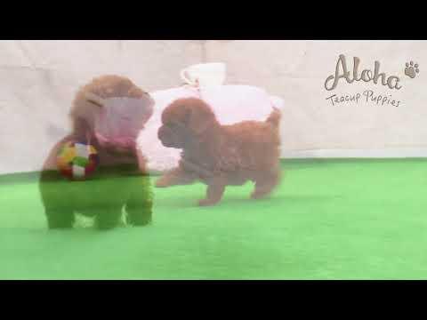 Toy mini poodle [COCO]!!