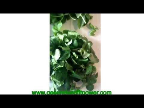 genial ! leckerer grüner Smoothie ( smoothie, gesund, Frühstück)