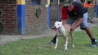 питбуль опасная собака в мире