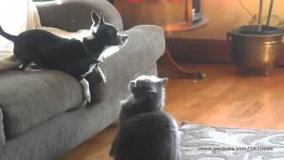 Смешные животные! Кошка и собачка! Юмор, смешное видео, прикол =