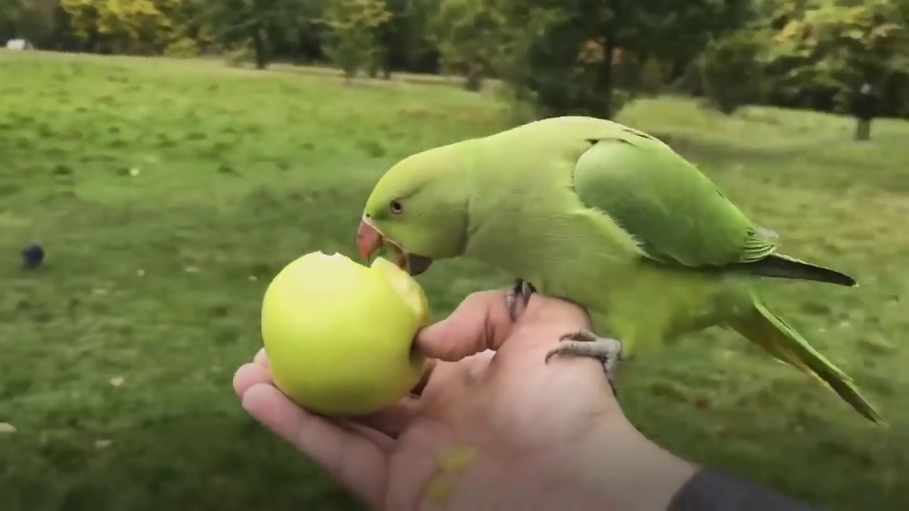 How to get covered in parakeets in London