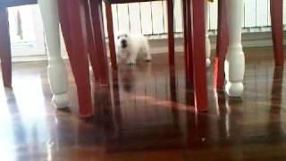 West Highland Terrier-vesti Tomas