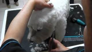 Westhighland White Terrier Trimmen, Westies, Westi beim Hundefriseur 23_30-24_30