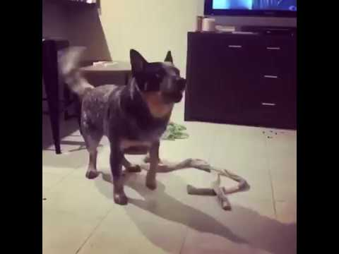 Australian Cattle Dog Practices Jig Ahead of His Move to Ireland