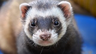 If you want your ferret to be happy and safe and live doublethe average ferret lifespan….
