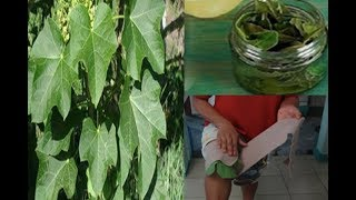 Incredible Tuba-Tuba Leaves Cures Hemorrhoids, Muscular Pain, Uric Acids and More!