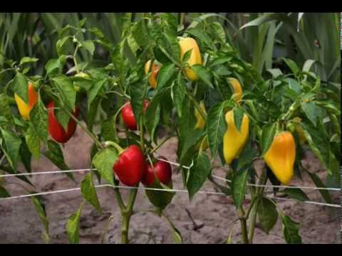 чем подкормить перец после высадки в грунт