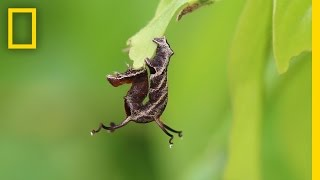 Watch How This Caterpillar Reacts to Loud Noises | National Geographic