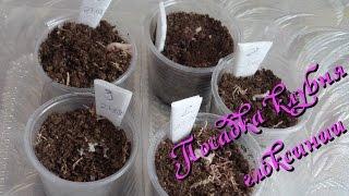 Глоксиния посадка клубня после зимнего покоя