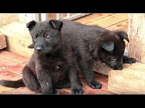 Щенки черной Немецкой Овчарки 1 мес. Black German Shepherd Puppies 1 month. Одесса.