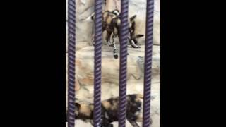 Гиеновидные собаки минский зоопарк 5