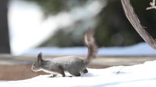 北海道 エゾリス 雪をペロペロ 可愛い癒し系 白いエゾリス 検索動画 16