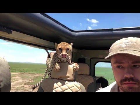 Shocking moment: Cheetah jumps inside safari car as terrified tourist tries to stay calm