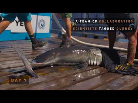 OCEARCH: Expedition Montauk | Meet Gurney Shark