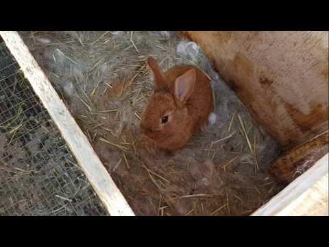 Миксоматоз - кошмары нашего двора - болезнь  и шишки у кроликов