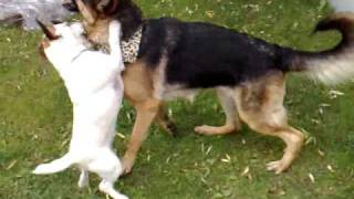 Jack Russell And German Shepard Chick