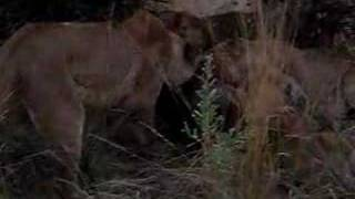 warthog eaten alive by lions