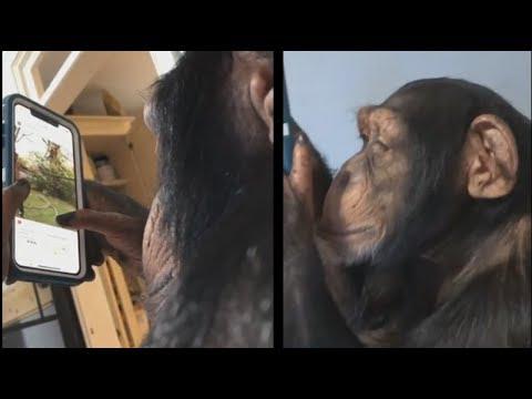 La Gitana - El chimpancé que usa Instagram...