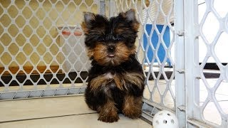 Yorkshire Terrier, Puppies, For, Sale, In, Charlotte, North Carolina, Nc, Lexington, Clemmons, Fuqua